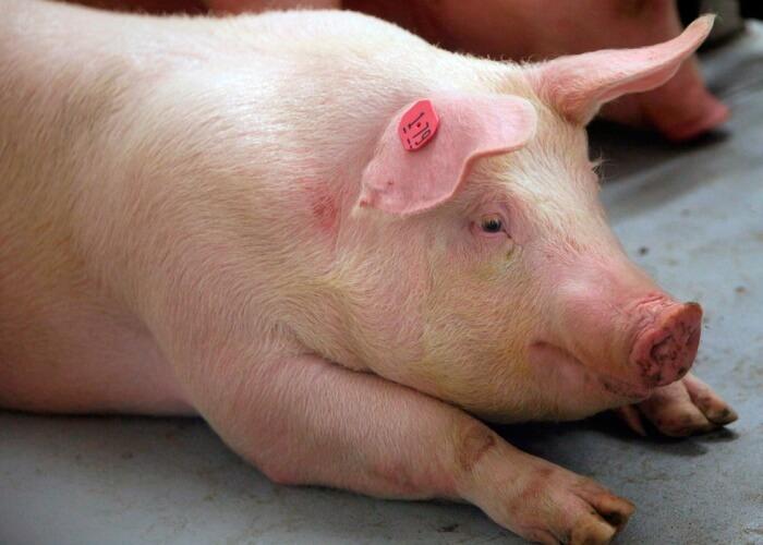Сибирская язва у свиньи