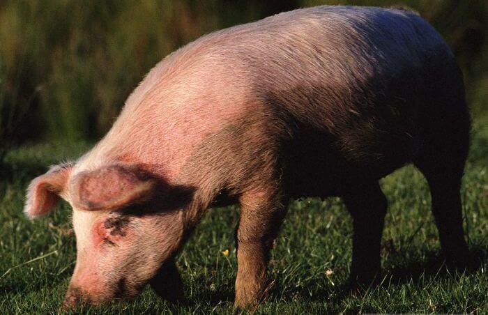 Свинья любит рыть землю