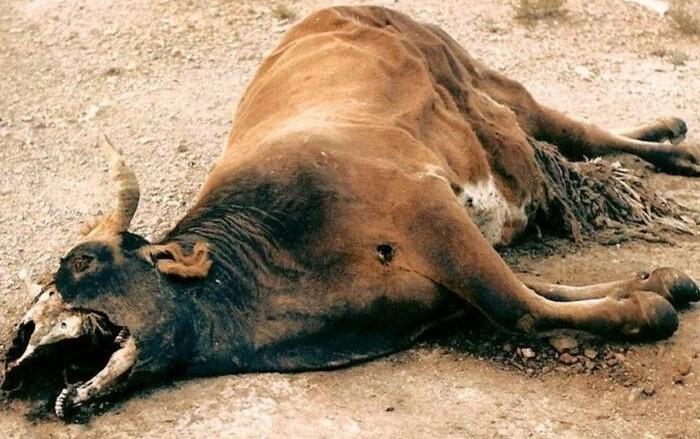 Гибель коровы от болезни происходит за три дня