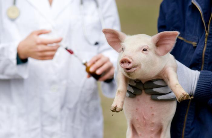 Вакцинация здоровых свиней