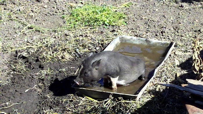 Купание вьетнамской свиньи