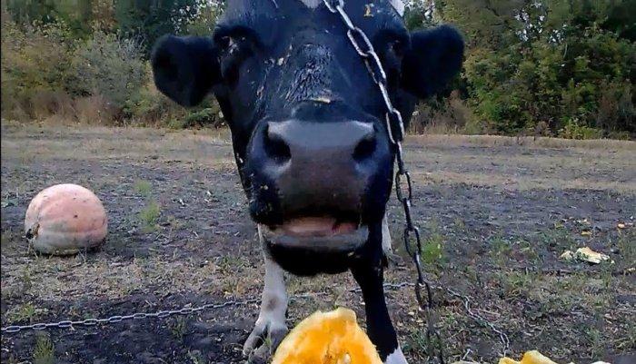 Корова должна употреблять тыкву