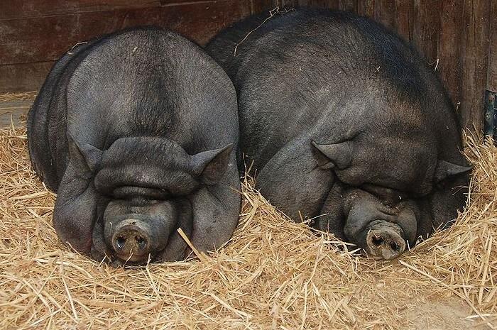 Сено для свиноматок