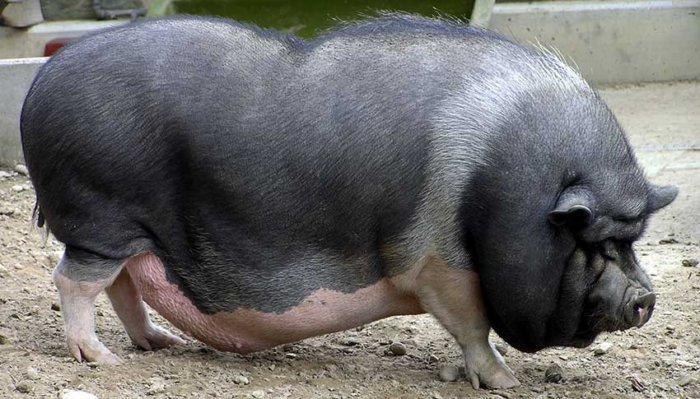 Беременная вьетнамская свинья