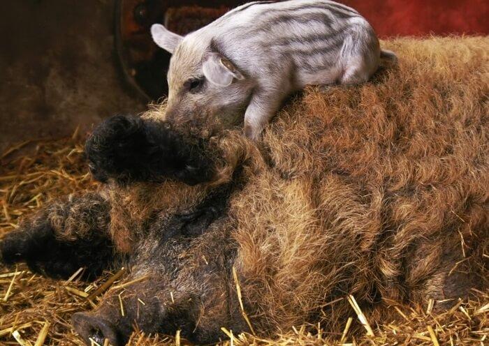 Шерстяная венгерская свинья с малышом