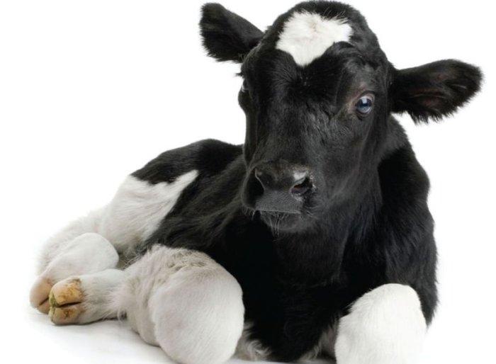 Некротическая форма заболевания у теленка