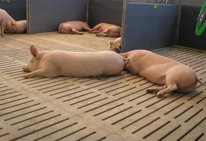 Правильные условия для содержания свиней