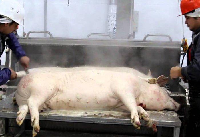 Свинья на убой