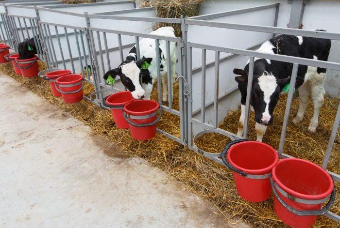 При содержании в стойле бычка фиксируют цепями