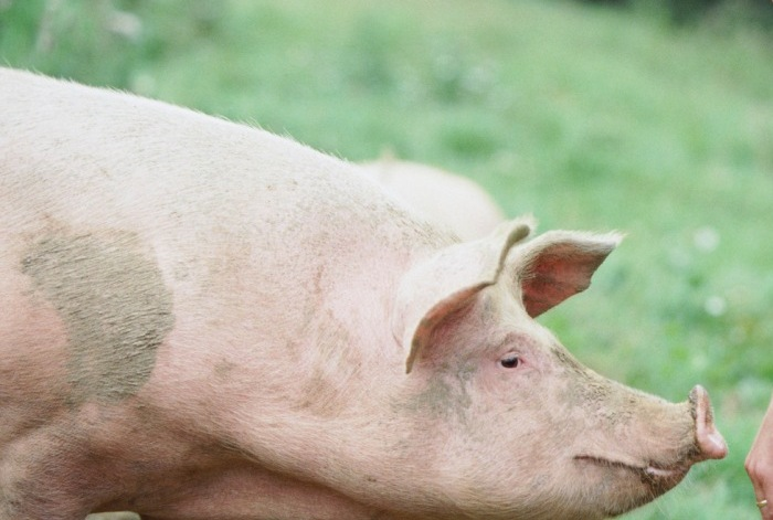 Свиньи часто страдают от болезней органов дыхания