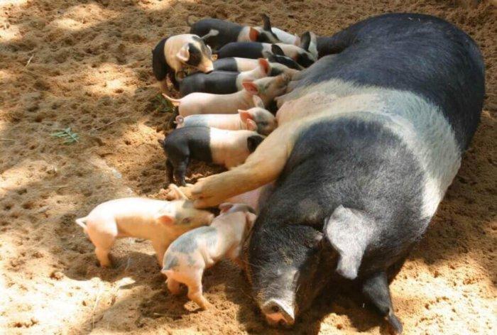 Отъём поросят от свиноматки