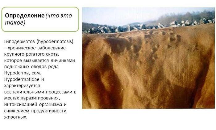 Гиподерматоз коров