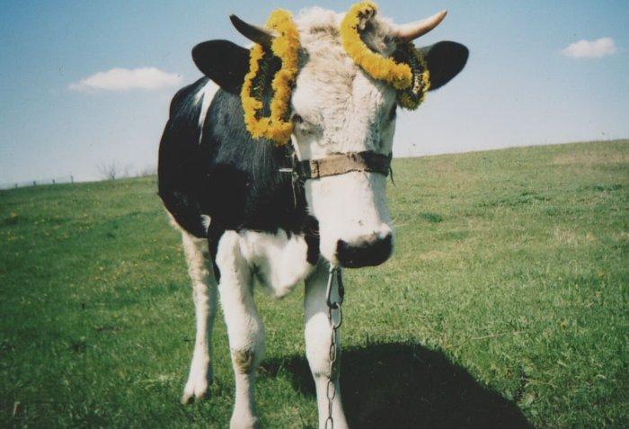Корова теряет вес