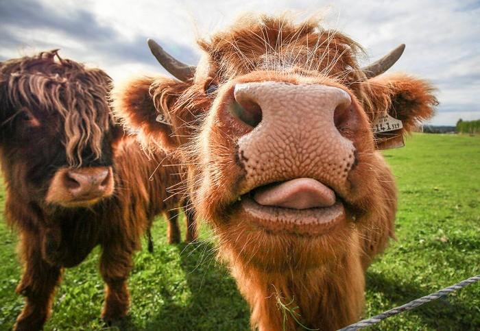 Мини-корова Хайленд