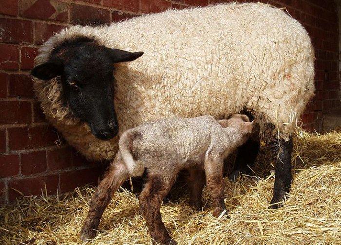Катаральная лихорадка овец