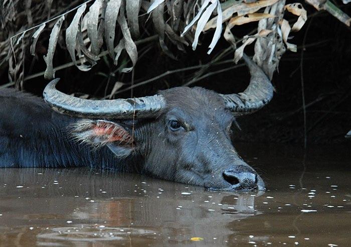 Индийский буйвол предпочитает жить вблизи водоемов
