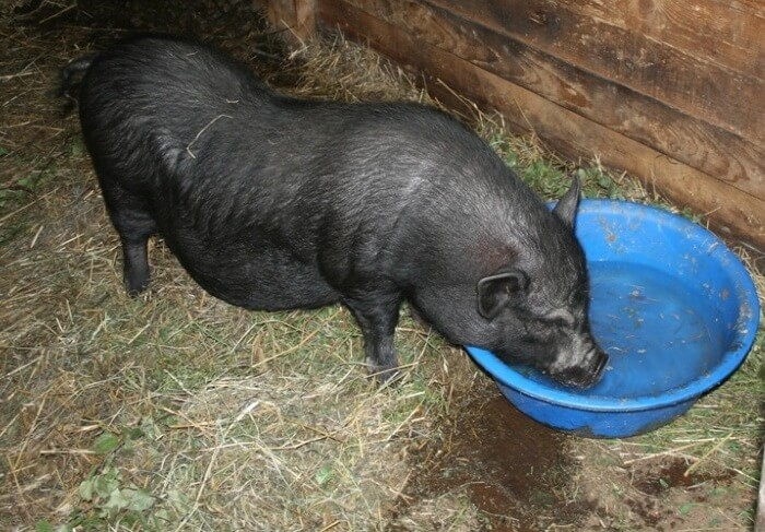 Свиноматке ограничивают питье