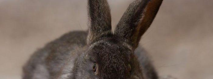 Признак охоты - крольчиха ложится на пол