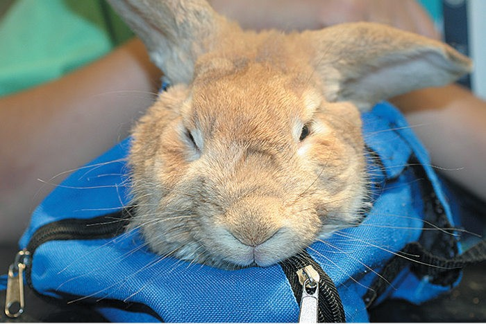 Энцефалит у кролика