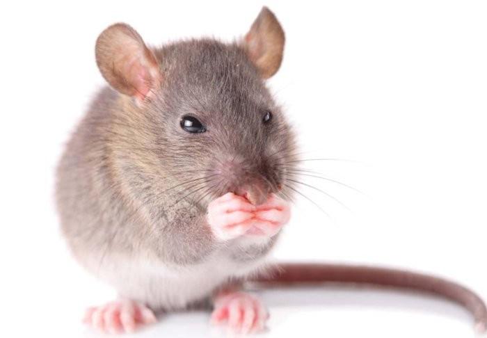 Разносчиком болезни могут выступать грызуны