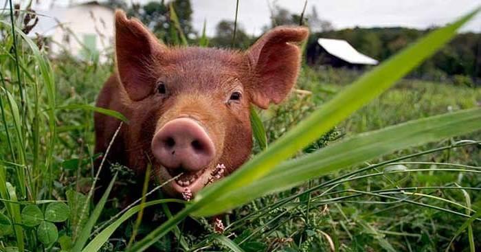 Свинья Темворс