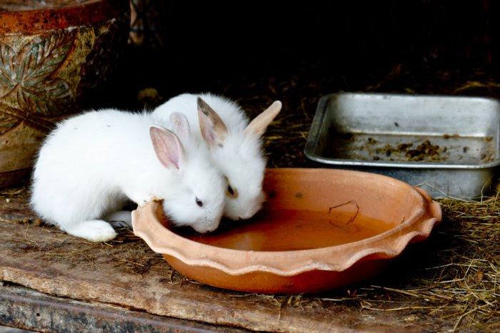 Кролики пьют из блюдечка спустя три недели после рождения
