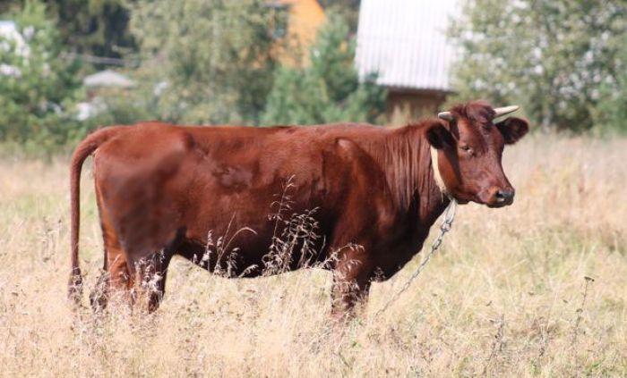 Красногорбатовская корова