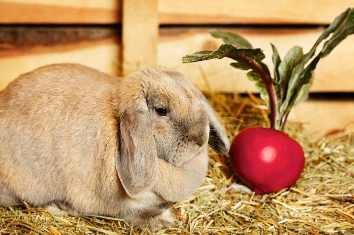 Кролик со свеклой