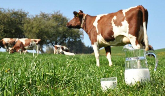 Коровы молочной породы