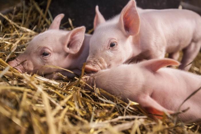 Свиньи, зараженные гельминтами