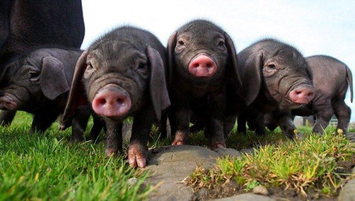 Мини-пиги мейшан