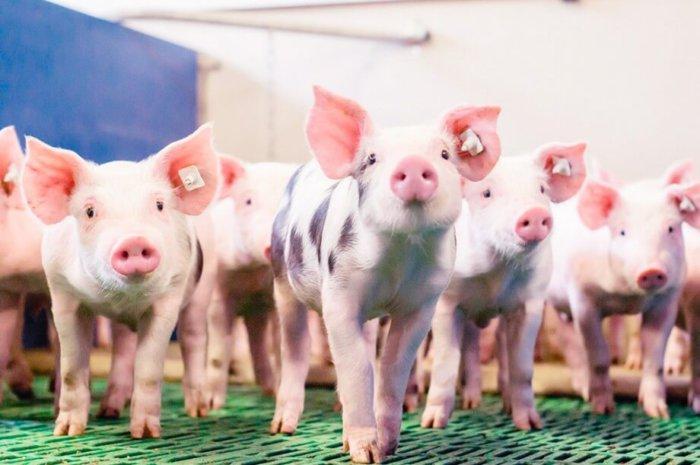 Здоровый молодняк свиней
