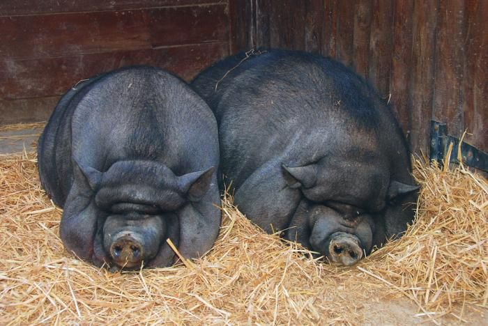 Пара корейских свиней перед спариванием