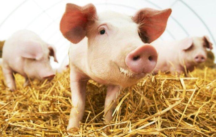 Подстилка из соломы для свиней
