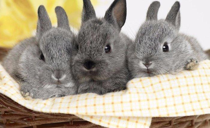 Разведение крольчат