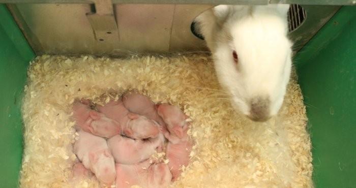 Крольчиха перед кормлением крольчат