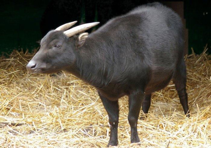 Разновидность карликового буйвола