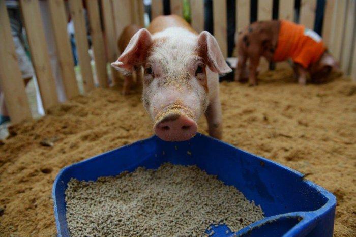 Кормление свиней