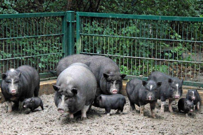 Корейская порода свиней