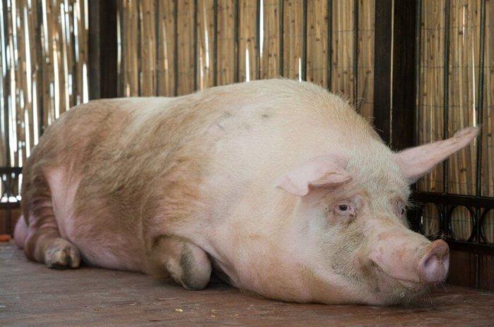 Супопросная свиноматка