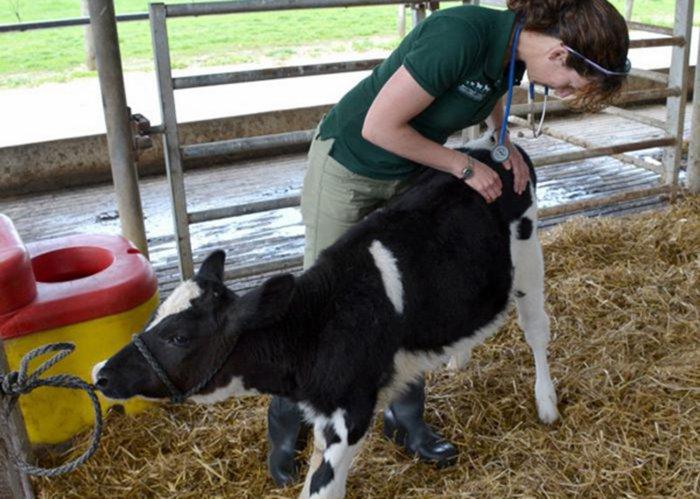 Осмотр больного теленка ветеринаром