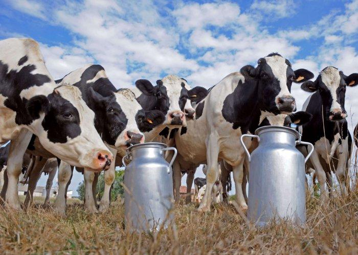 Сокращение периода высокой молочной производительности
