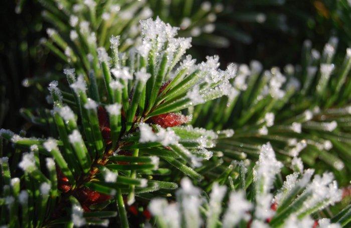 Веточки хвойных пород деревьев