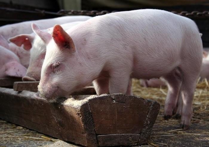 Кормление взрослых свиней