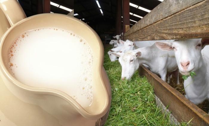 Козье молоко подходит и крольчатам