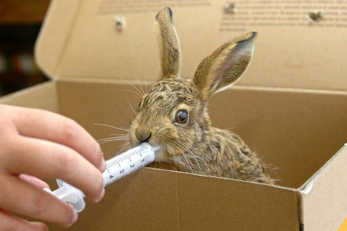 Кормление кролика смесью из шприца