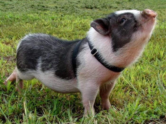 Свиньи визенау