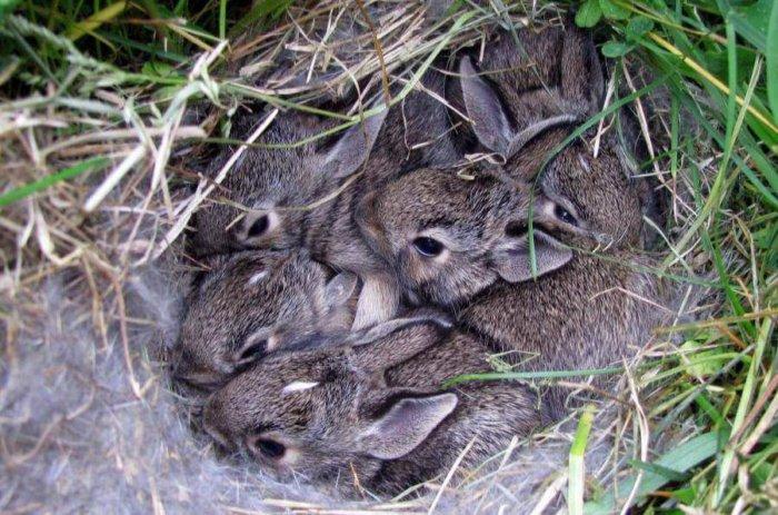 Крольчата в гнезде