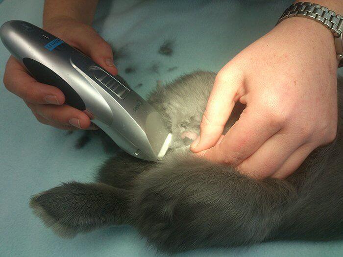 Подготовка кролика к кастрации