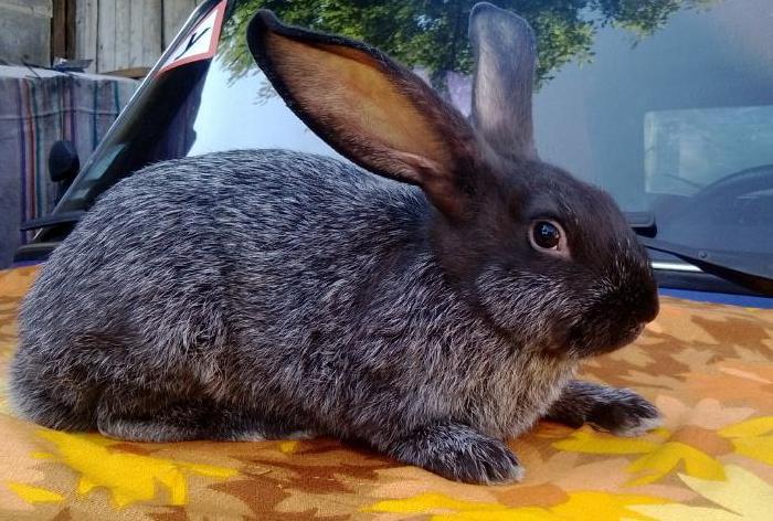 Кролик породы Полтавское Серебр